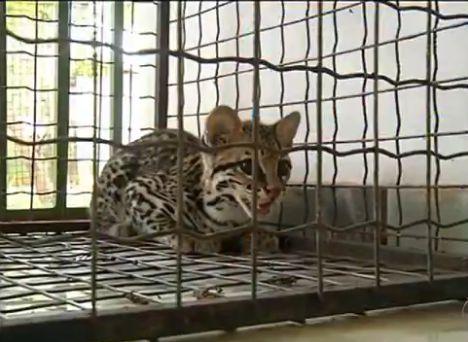 Filhote de Jaguatirica é resgatado após ser encontrado em chácara