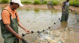 Décimo terceiro do ranking nacional, Tocantins é o 4º maior produtor de pescado da região norte, aponta Anuário da Piscicultura 2016