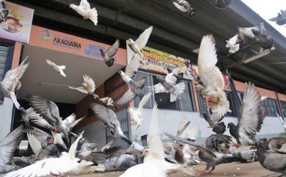 Prefeitura de Araguaína orienta sobre doenças causadas por pombos
