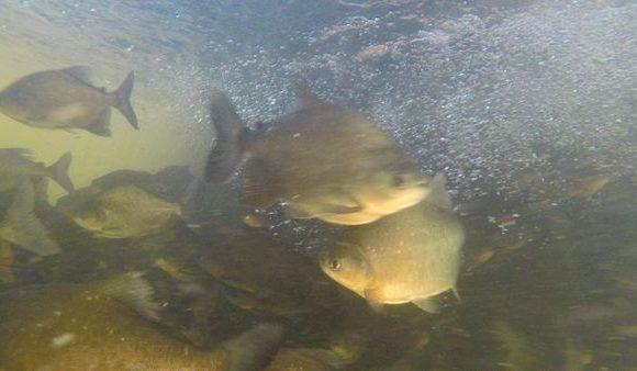 Projeto reintroduzirá mais de 200 mil peixes de espécies nativas no Lago Azul